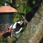 Adult Great Spotted Woodpecker with food for the youngster.