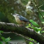A Nuthatch enjoying peanuts
